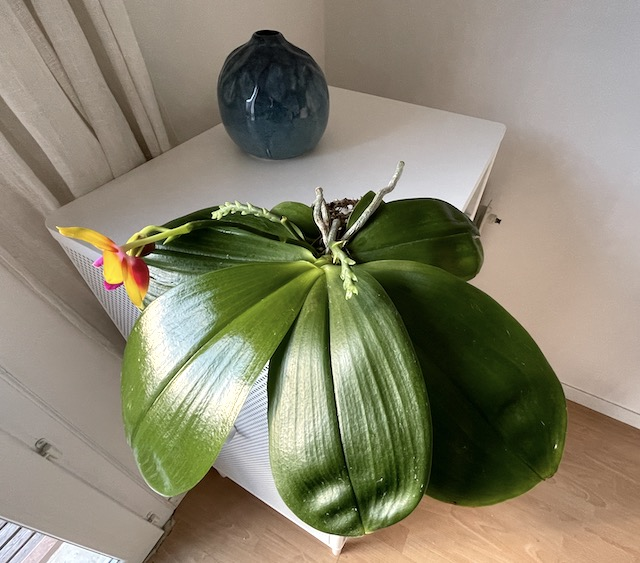KJbrBY1EAYO_2021-10-01-Phalaenopsis-Mitu