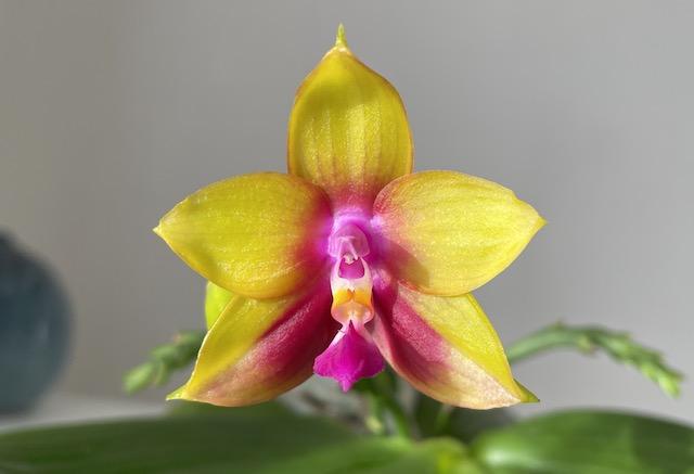 KJbrC4KqBtO_2021-10-01-Phalaenopsis-Mitu